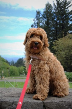 The Trouble With The New Rage Of Designer Dogs Hike With